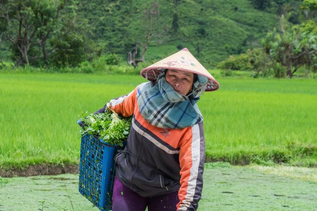 A farm worker collecting agricultural produce in Xieng Khouang Province.
